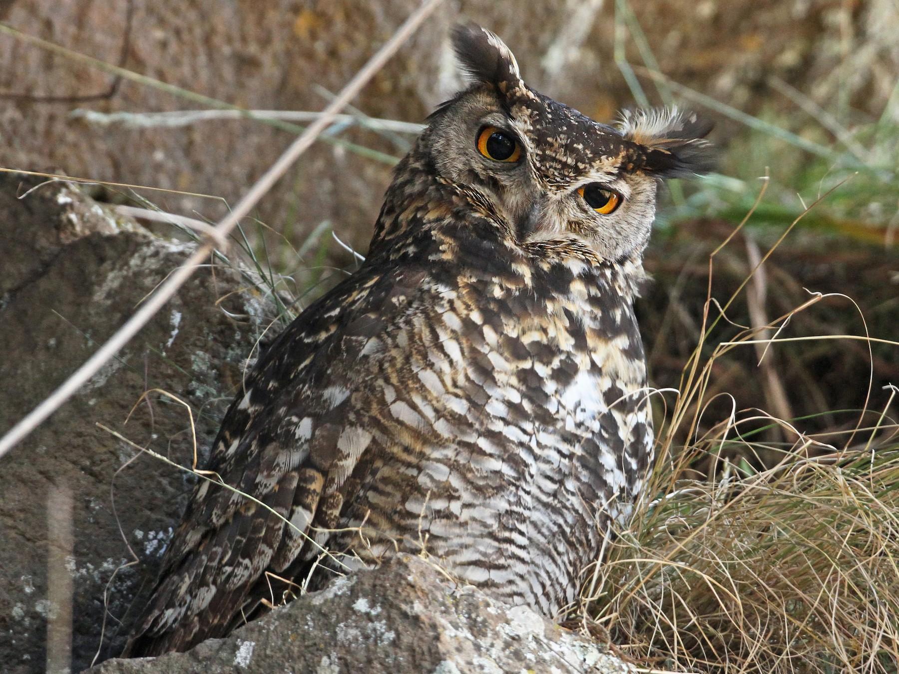 Cape Eagle-Owl - Luke Seitz