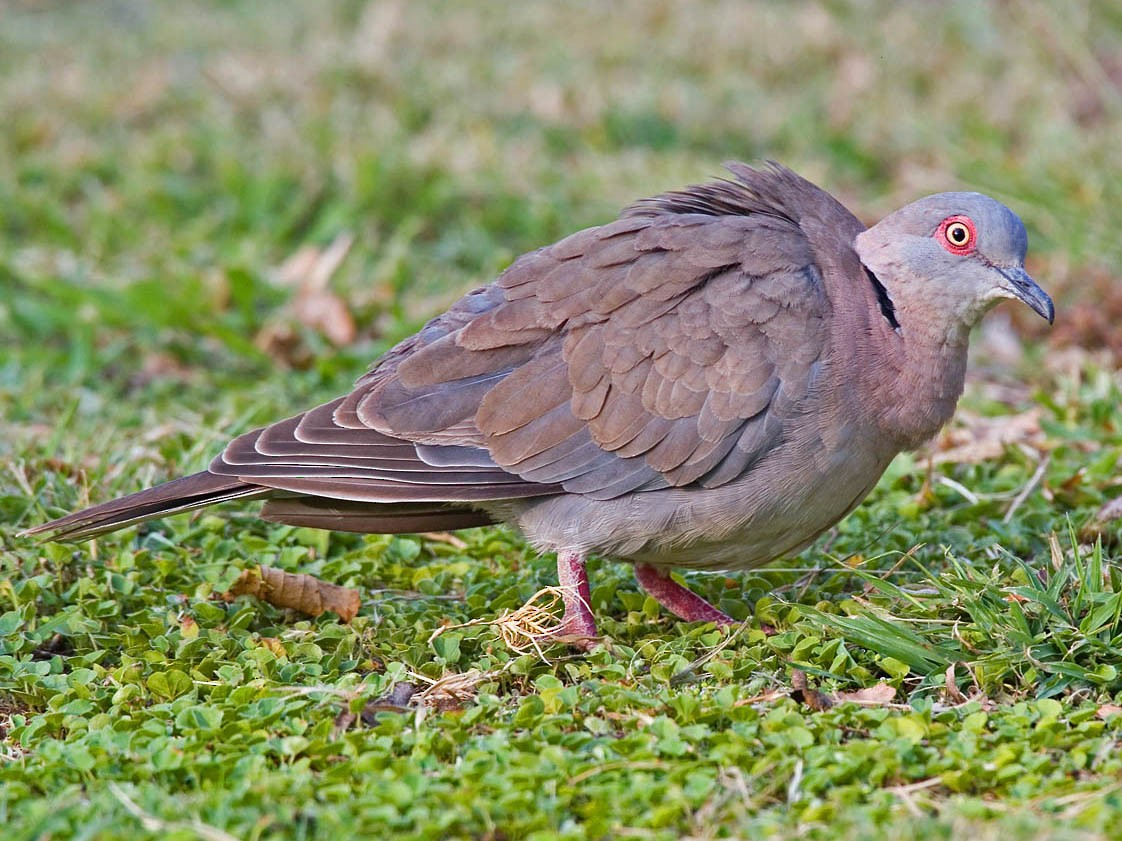 Mourning Collared-Dove - Bruce Ward-Smith