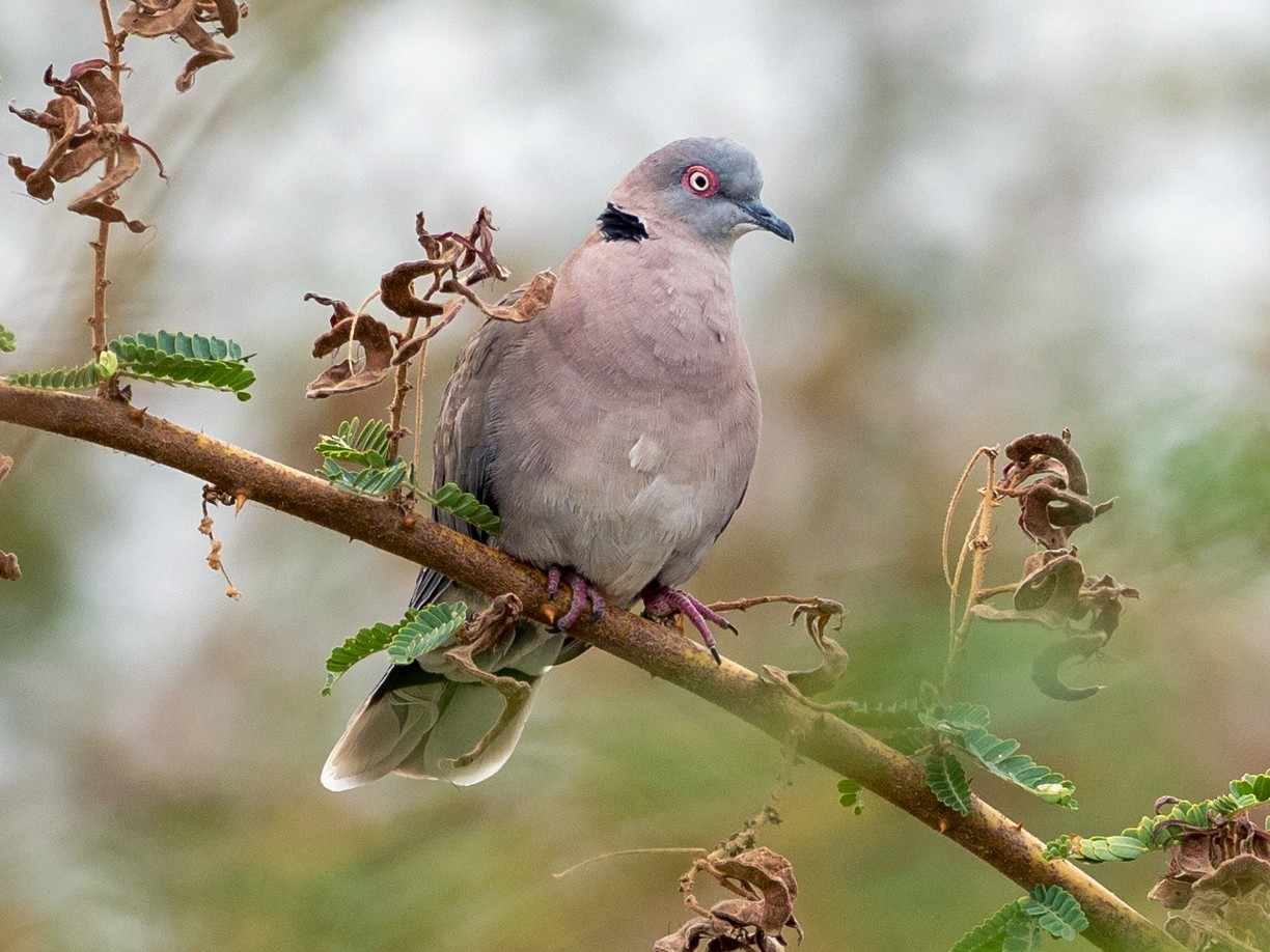 Mourning Collared-Dove - Forest Jarvis