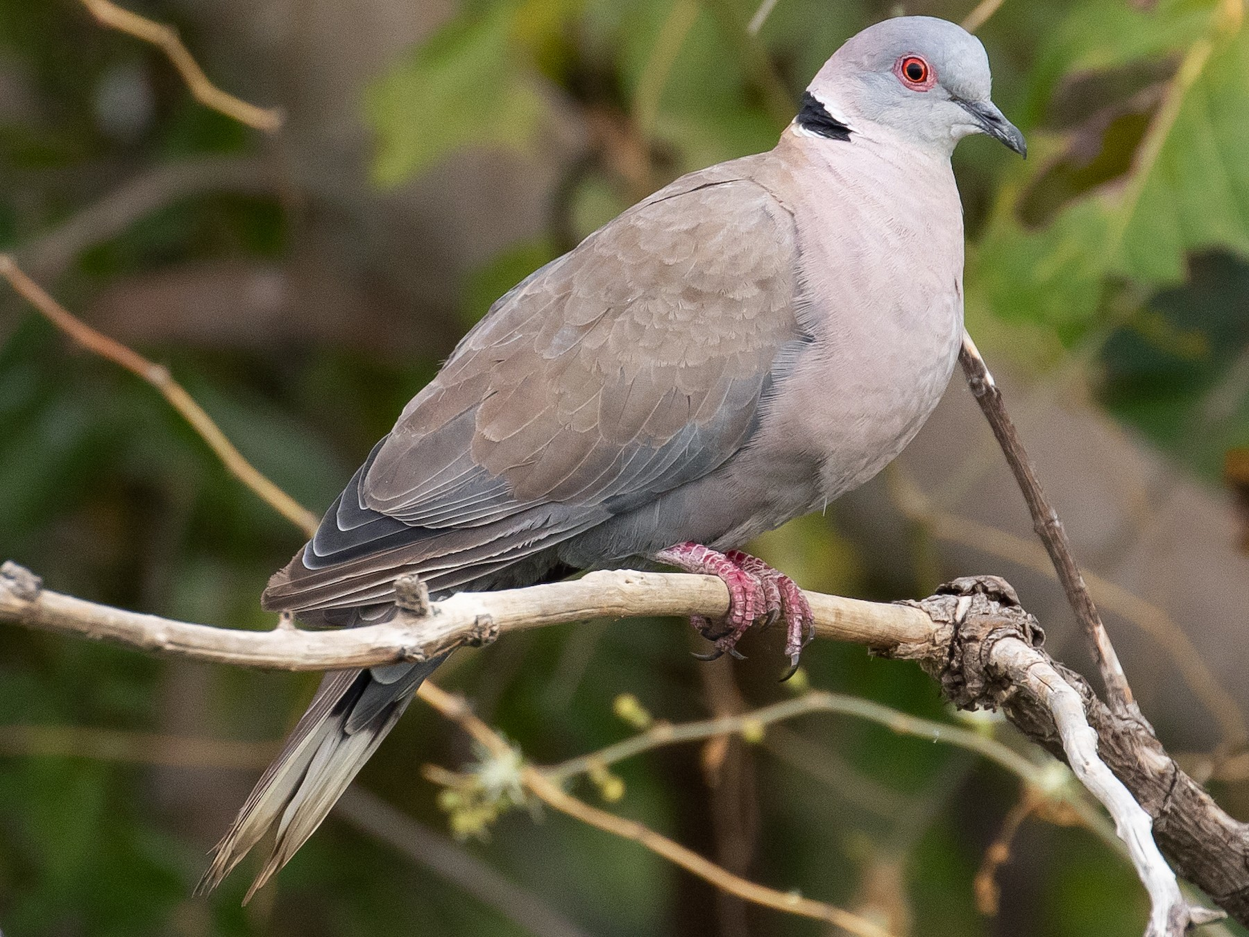 Mourning Collared-Dove - James Kennerley 🦖