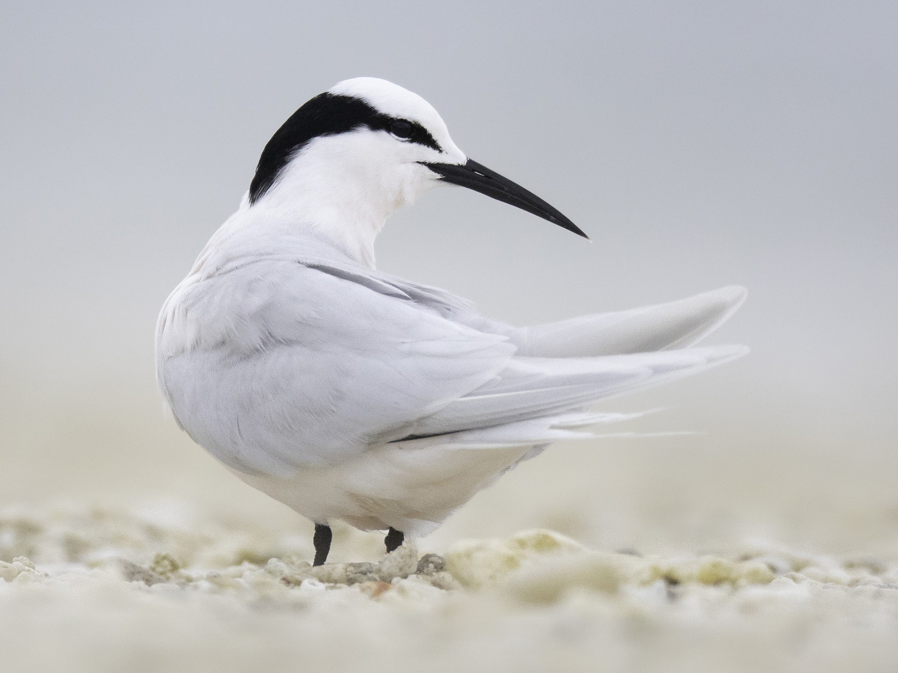 Black-naped Tern - Matt Wright | Faunagraphic Wildlife Tours