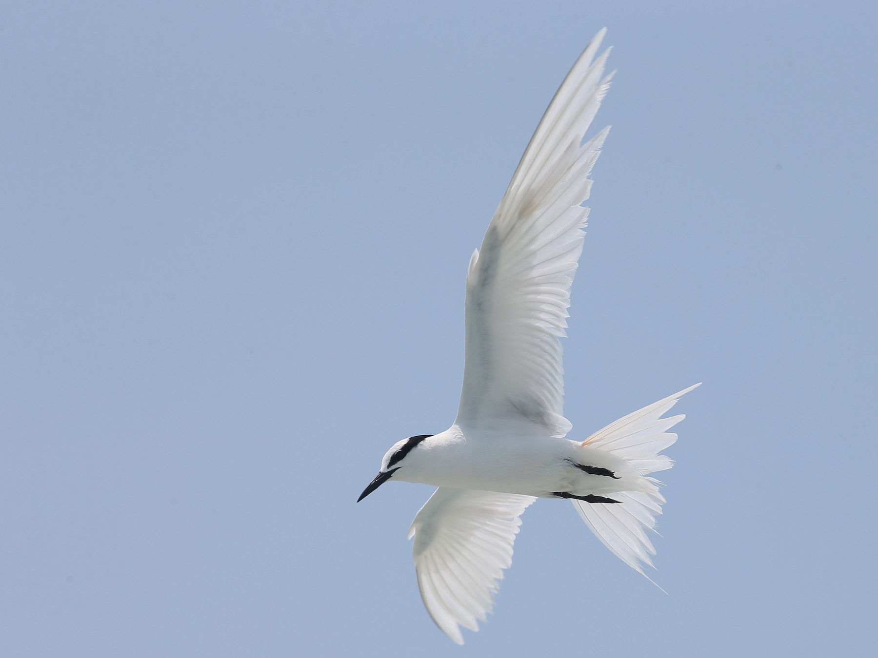 Black-naped Tern - Ting-Wei (廷維) HUNG (洪)