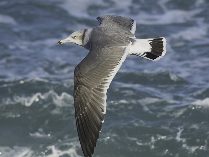 Black-tailed Gull - Batmunkh Davaasuren