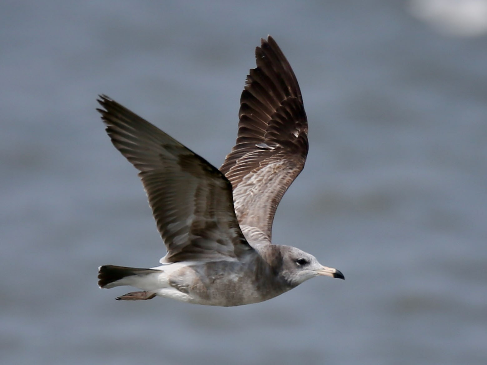 Black-tailed Gull - Ting-Wei (廷維) HUNG (洪)