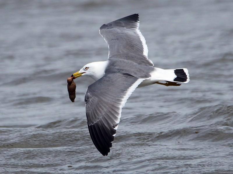Black-tailed Gull - Pavel Parkhaev