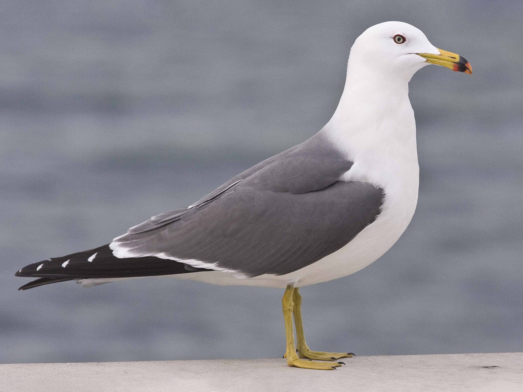 Black-tailed Gull - eBird