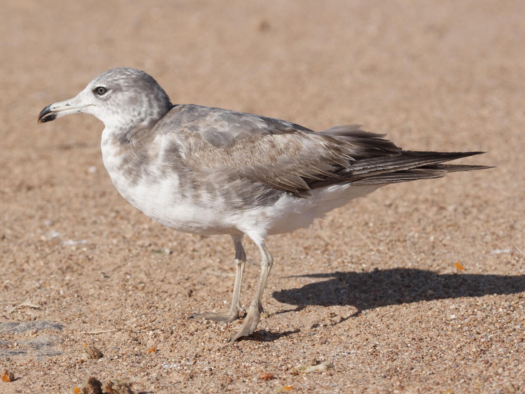 Black-tailed Gull - Adrian Boyle