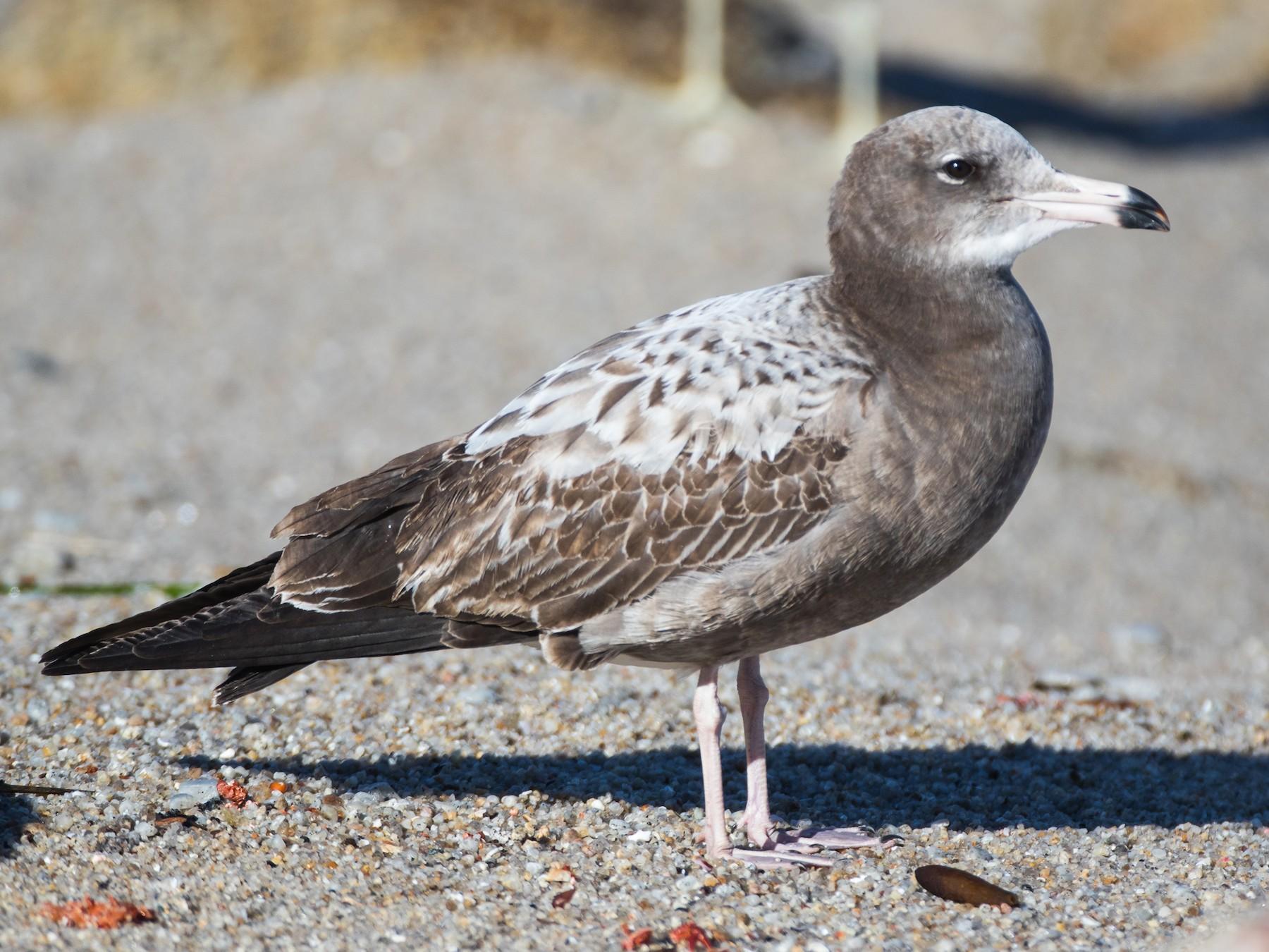 Black-tailed Gull - Blake Matheson