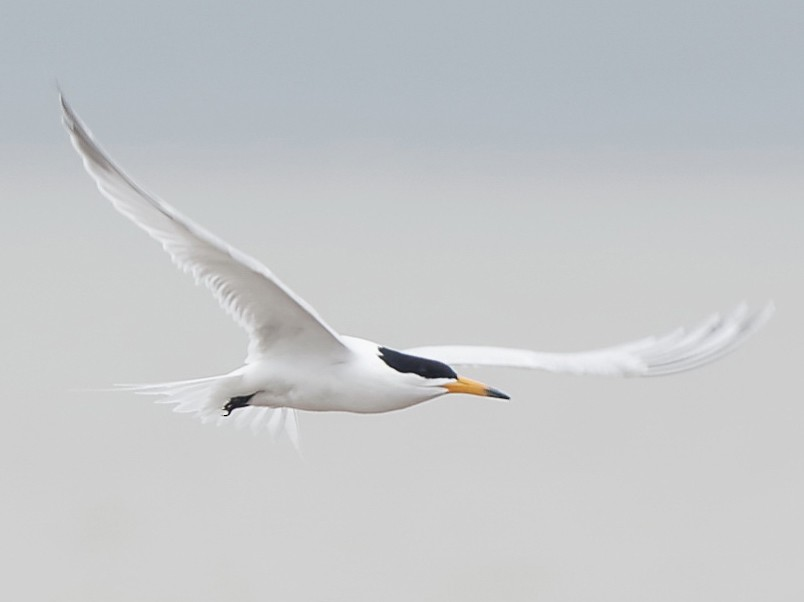 Chinese Crested Tern - Vincent Wang