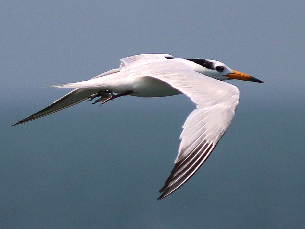 Chinese Crested Tern - Chih-Wei(David) Lin