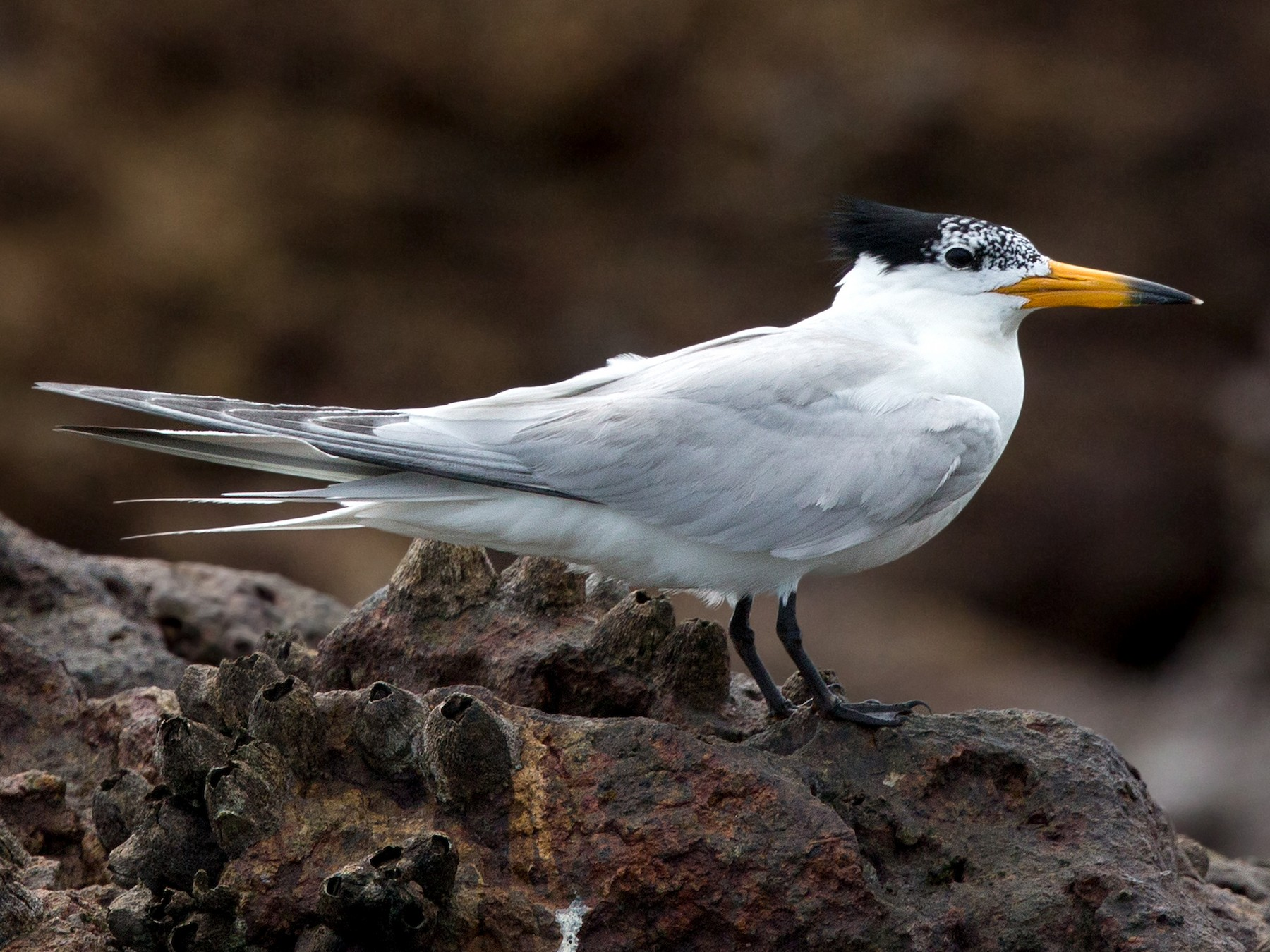 Chinese Crested Tern - David Irving