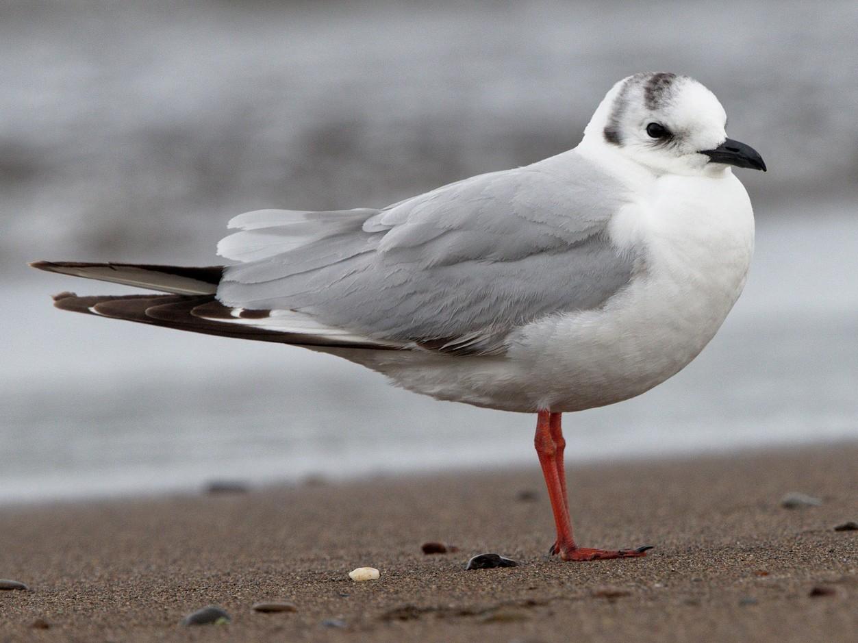 Saunders's Gull - Stuart Price