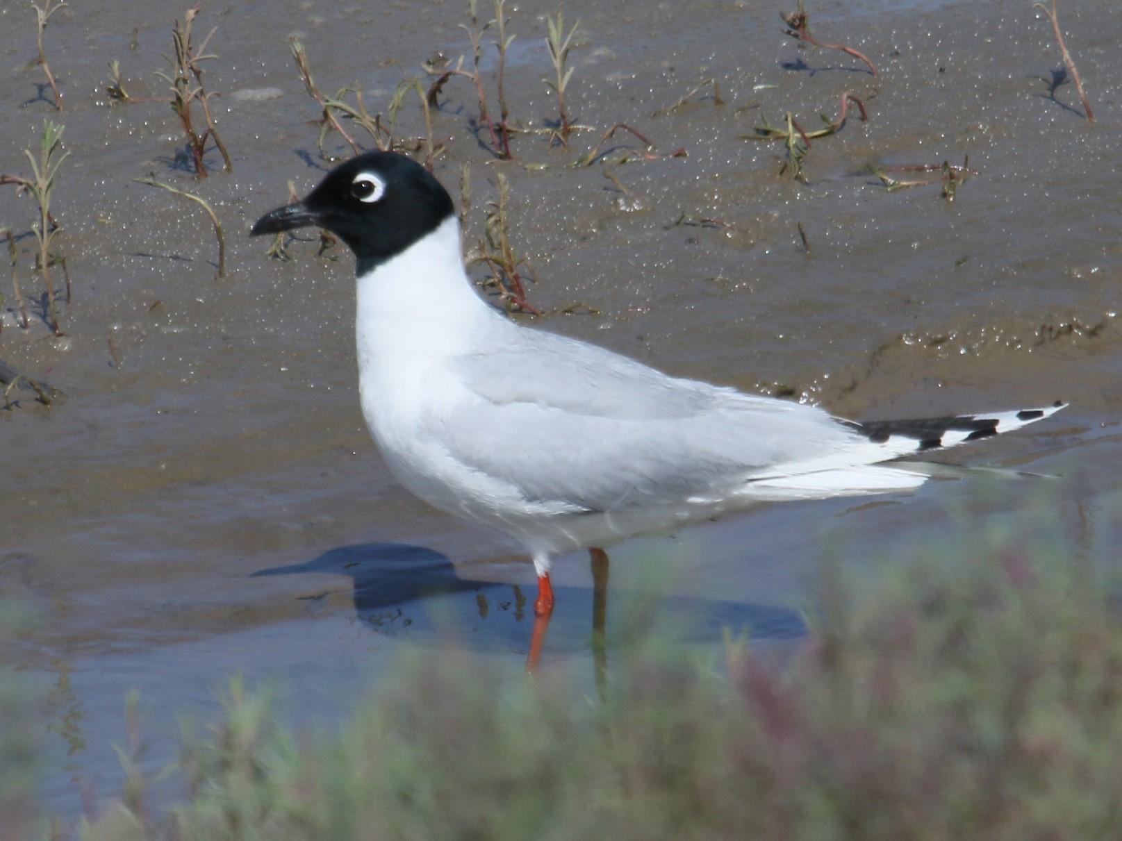 Saunders's Gull - Owen Krout