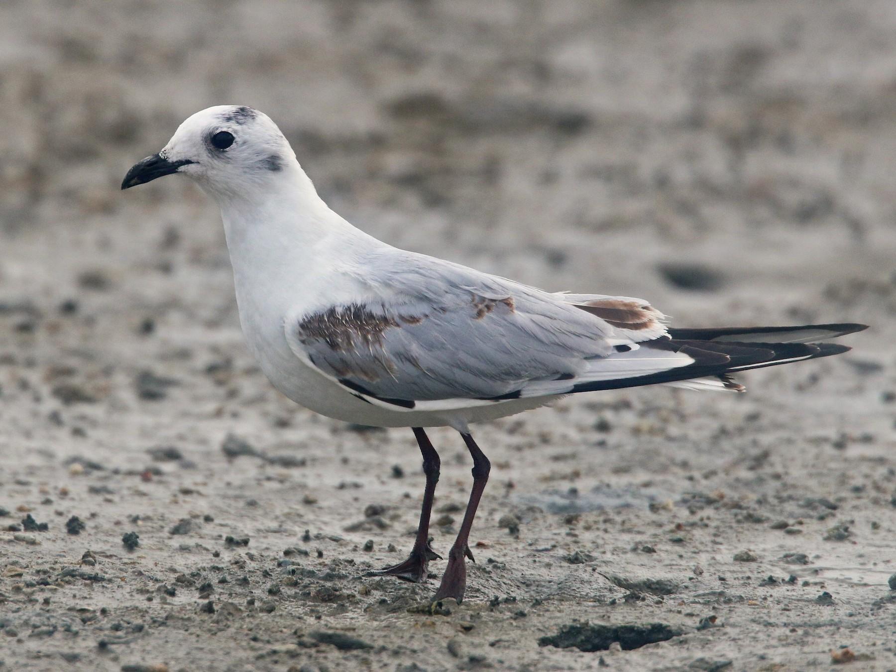 Saunders's Gull - Ian Davies