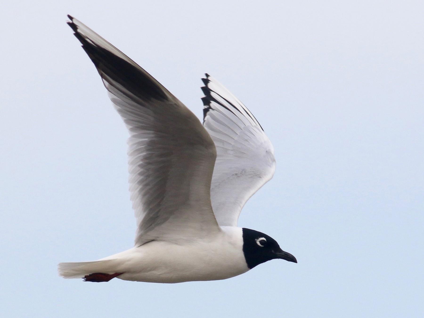 Saunders's Gull - Cassie  Liu
