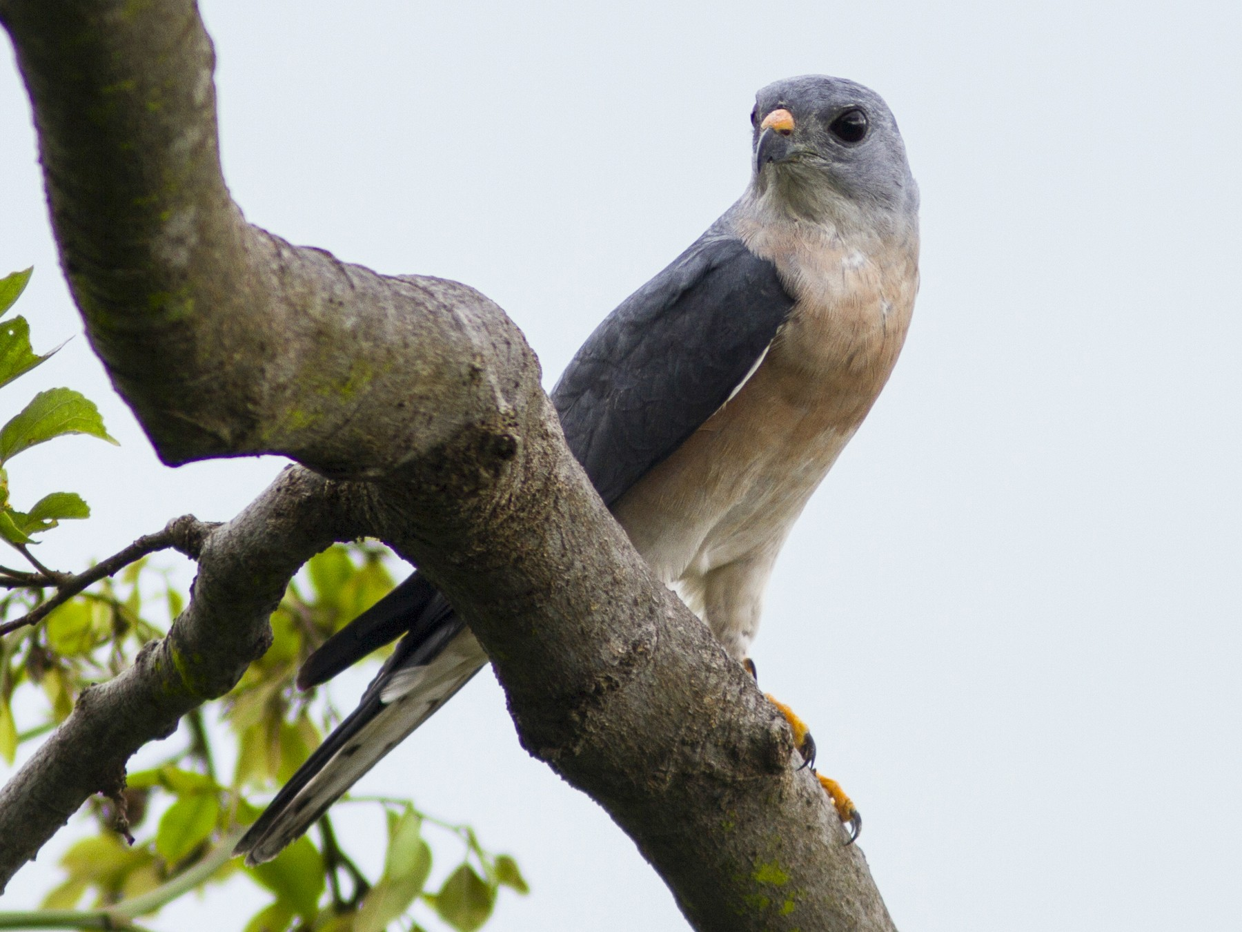 Chinese Sparrowhawk - Paul Hyde