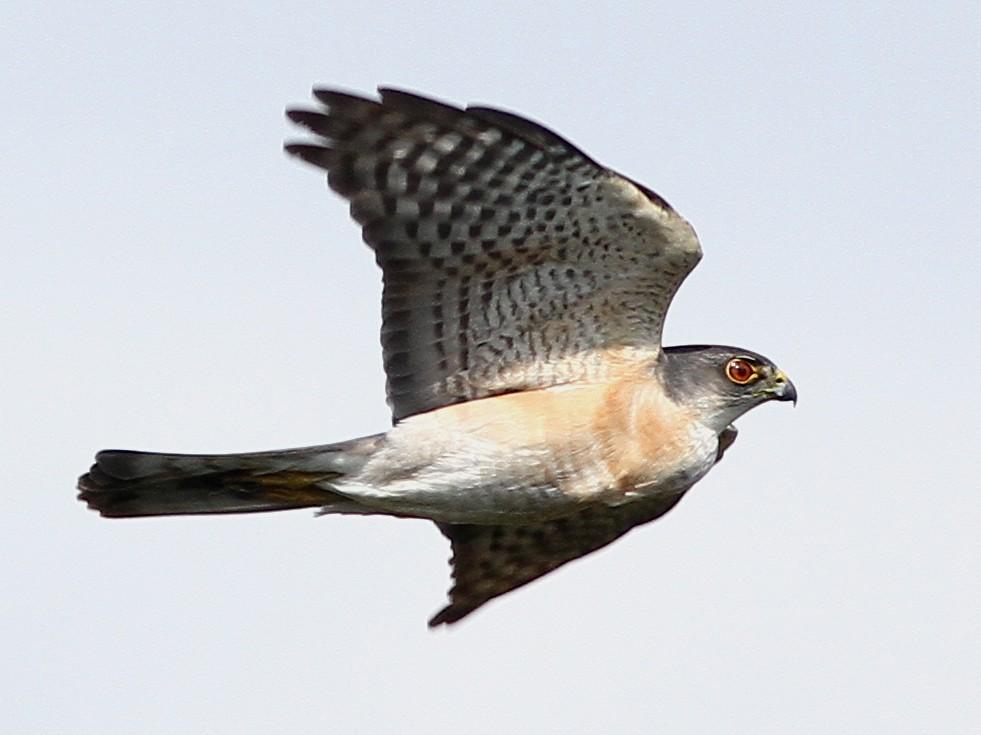Japanese Sparrowhawk - Chien-wei Tseng