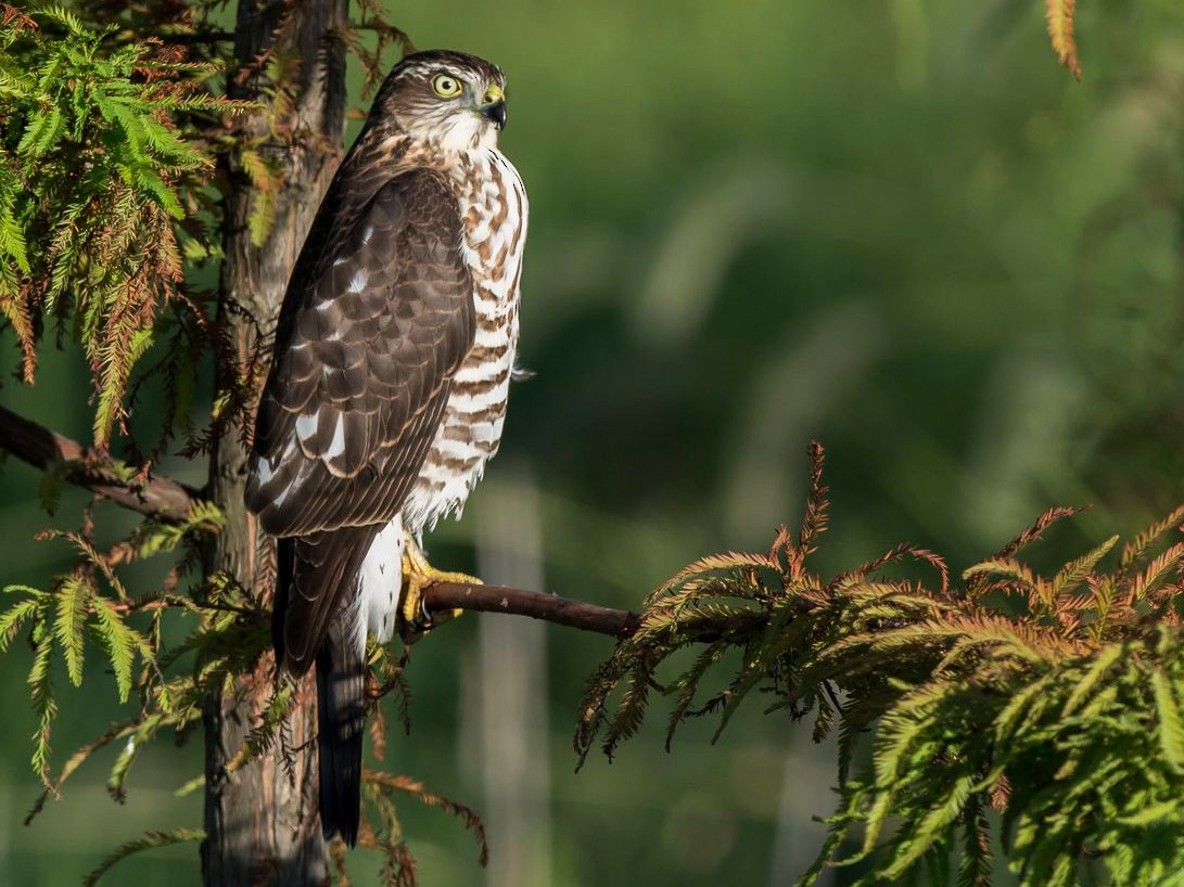 Japanese Sparrowhawk - Kai Pflug