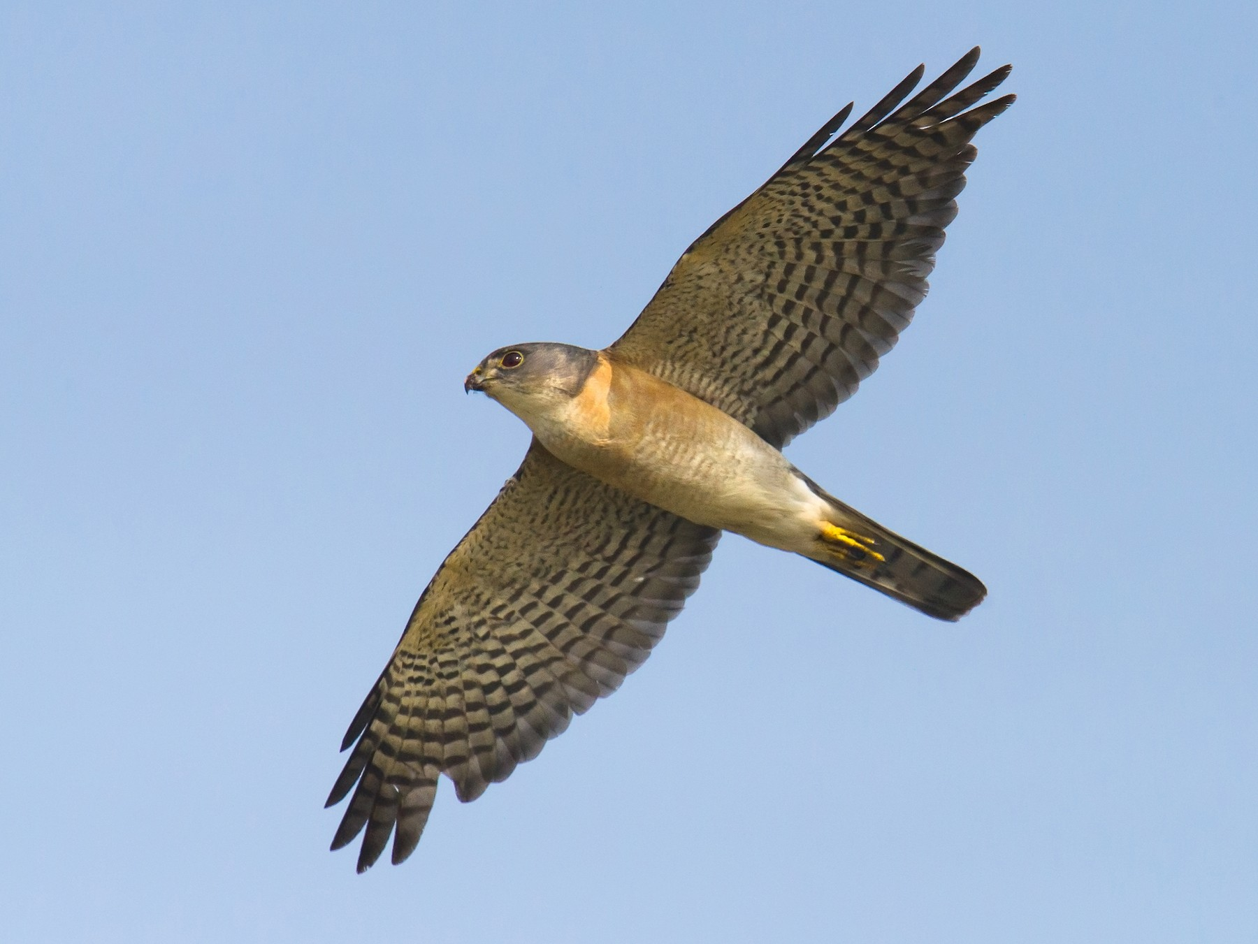 Japanese Sparrowhawk - Craig Brelsford