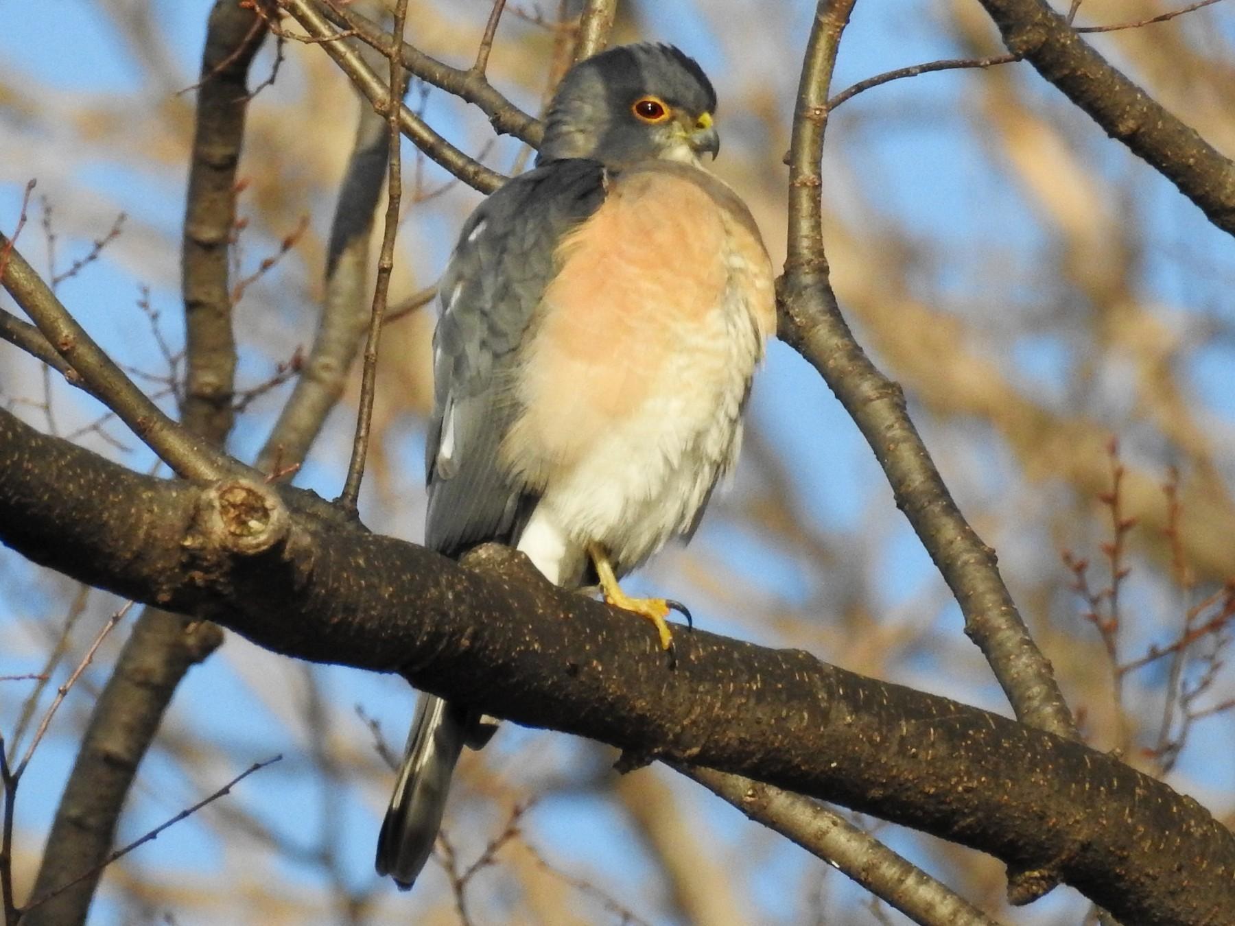 Japanese Sparrowhawk - Anonymous eBirder