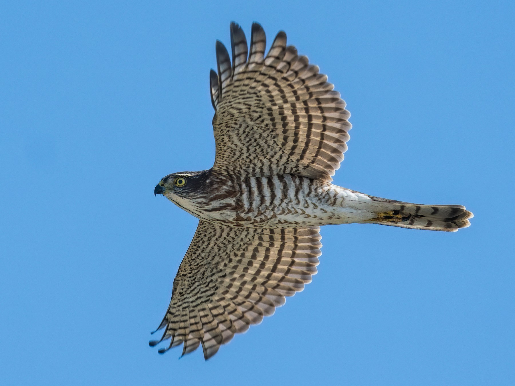 Japanese Sparrowhawk - Will Yan