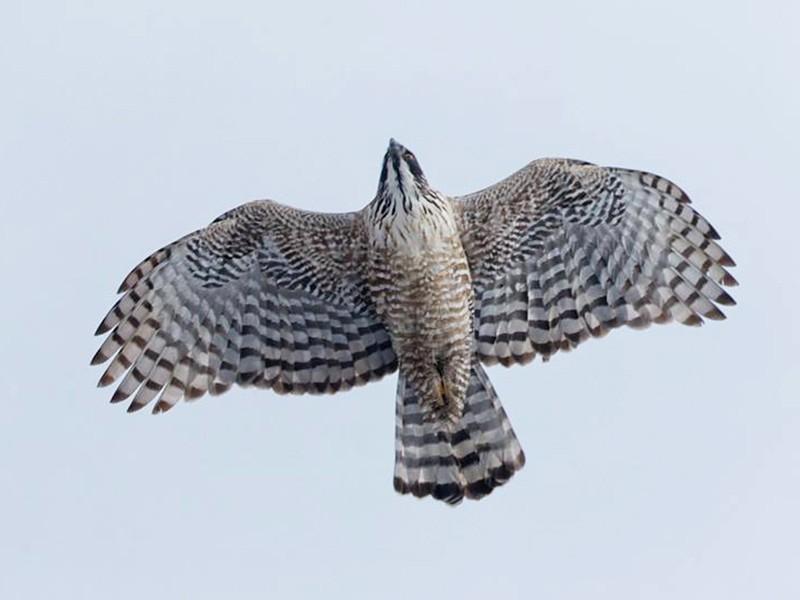 Mountain Hawk-Eagle - Kantori Birders