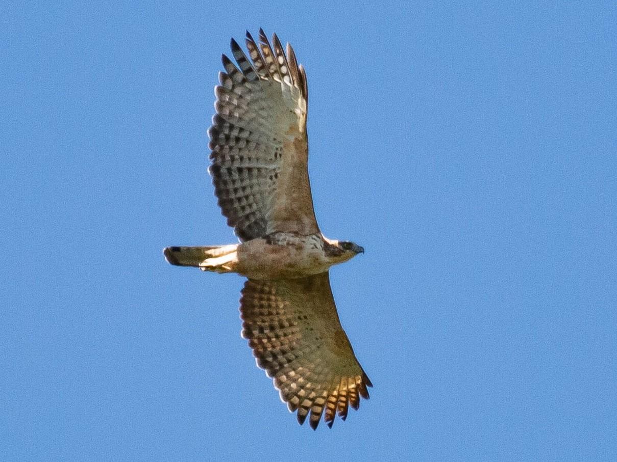 Mountain Hawk-Eagle - Paul Fenwick