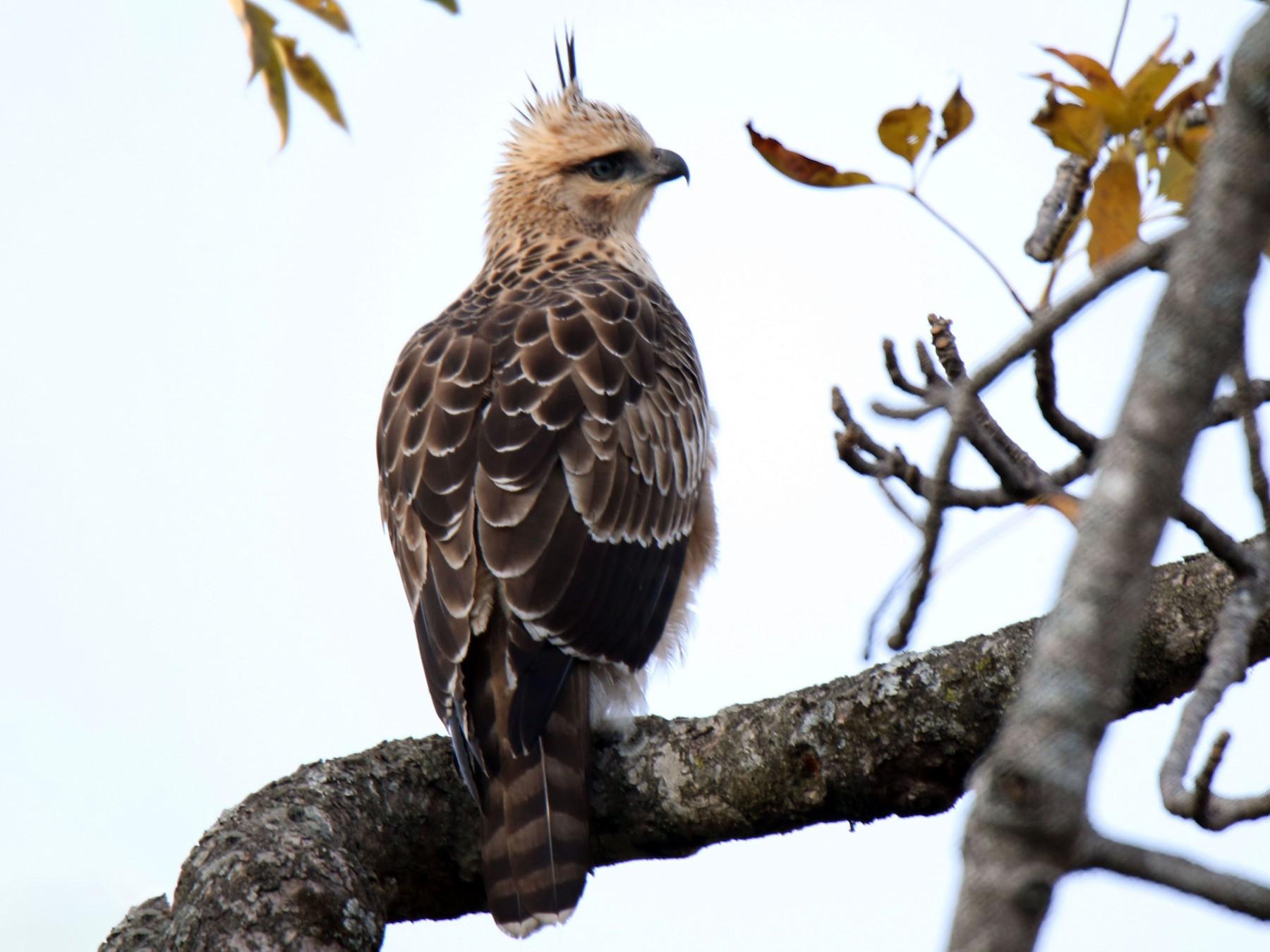 Mountain Hawk-Eagle - Paras Raj Bora