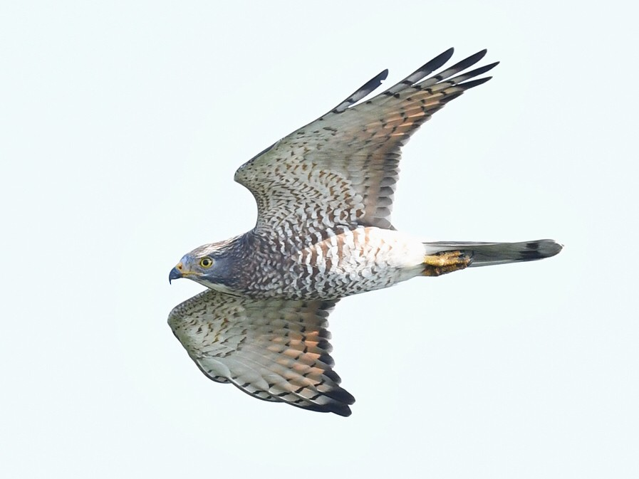 Gray-faced Buzzard - Will Yan