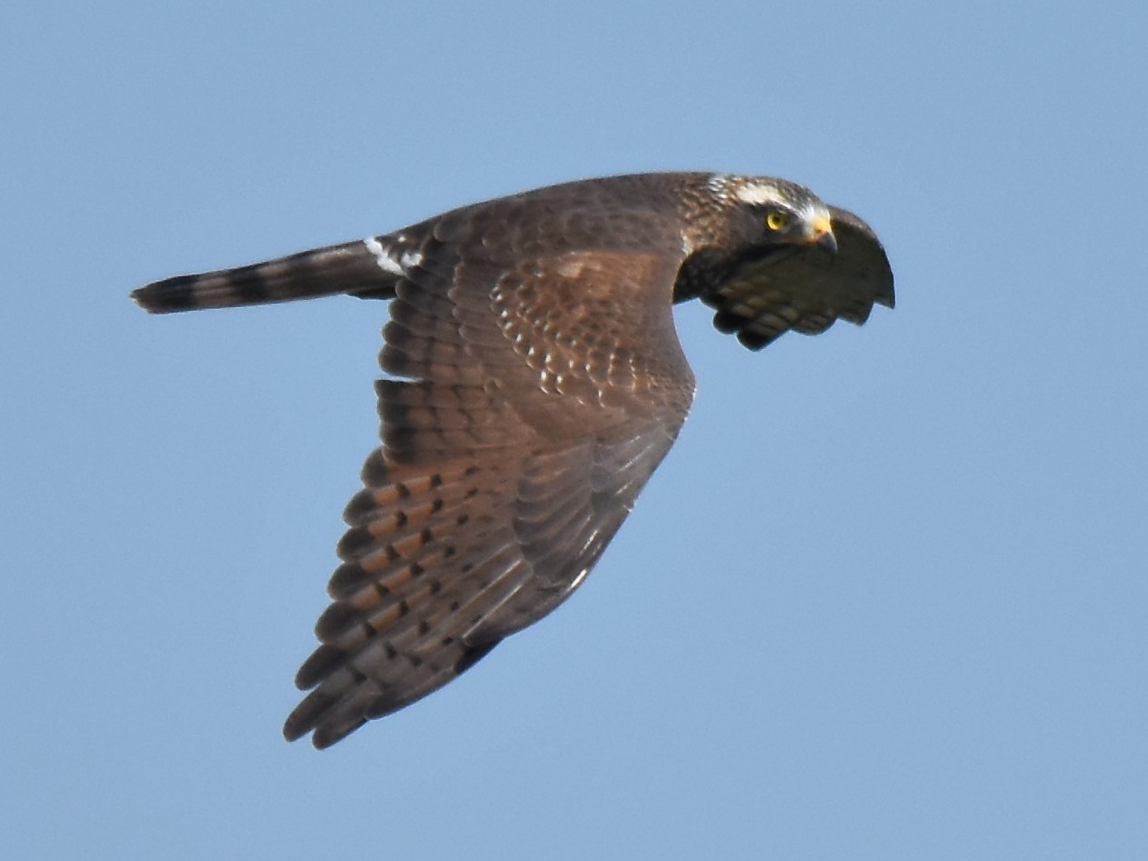Gray-faced Buzzard - Kun-Hui  Lin