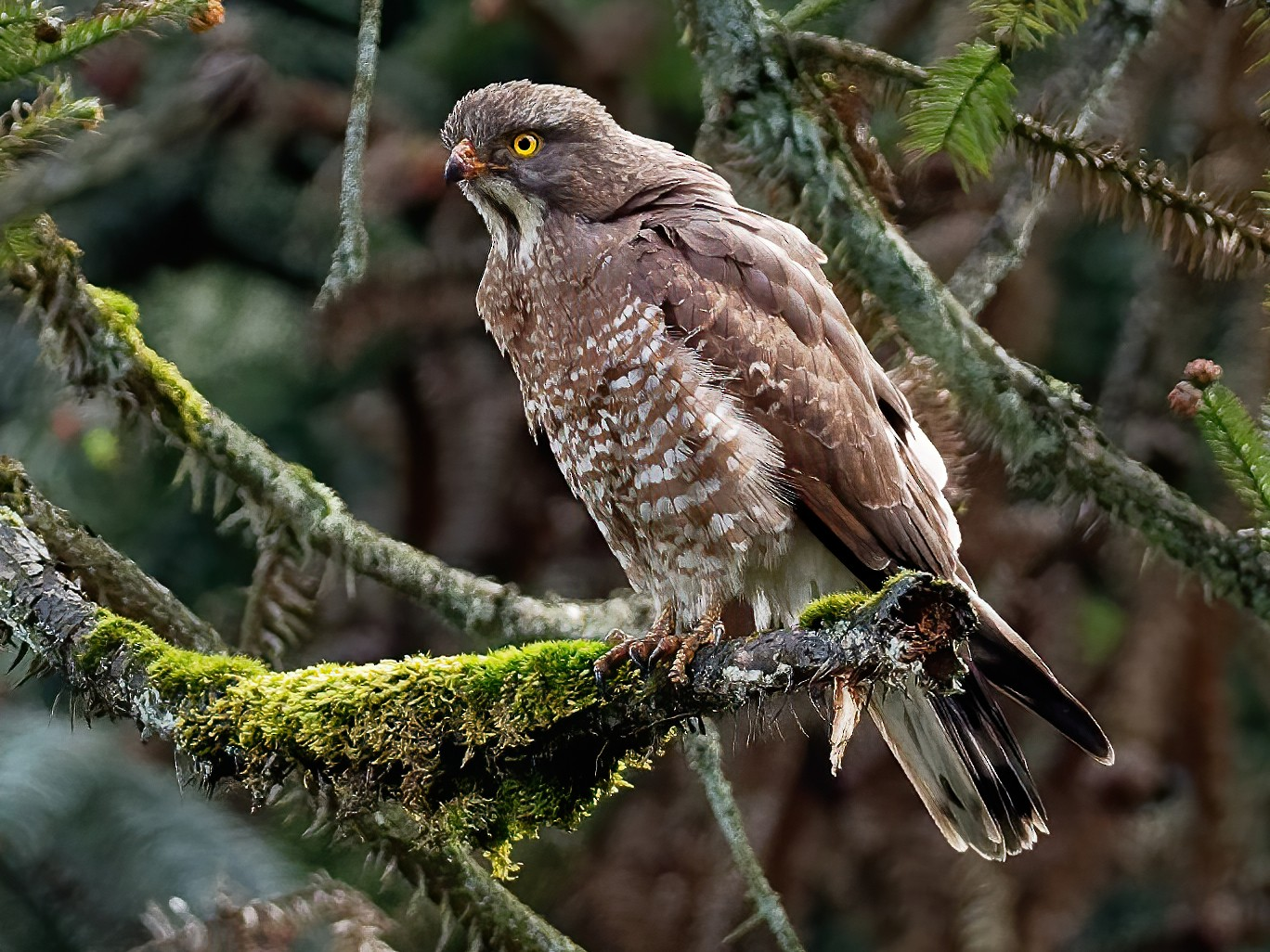 Gray-faced Buzzard - Vincent Wang