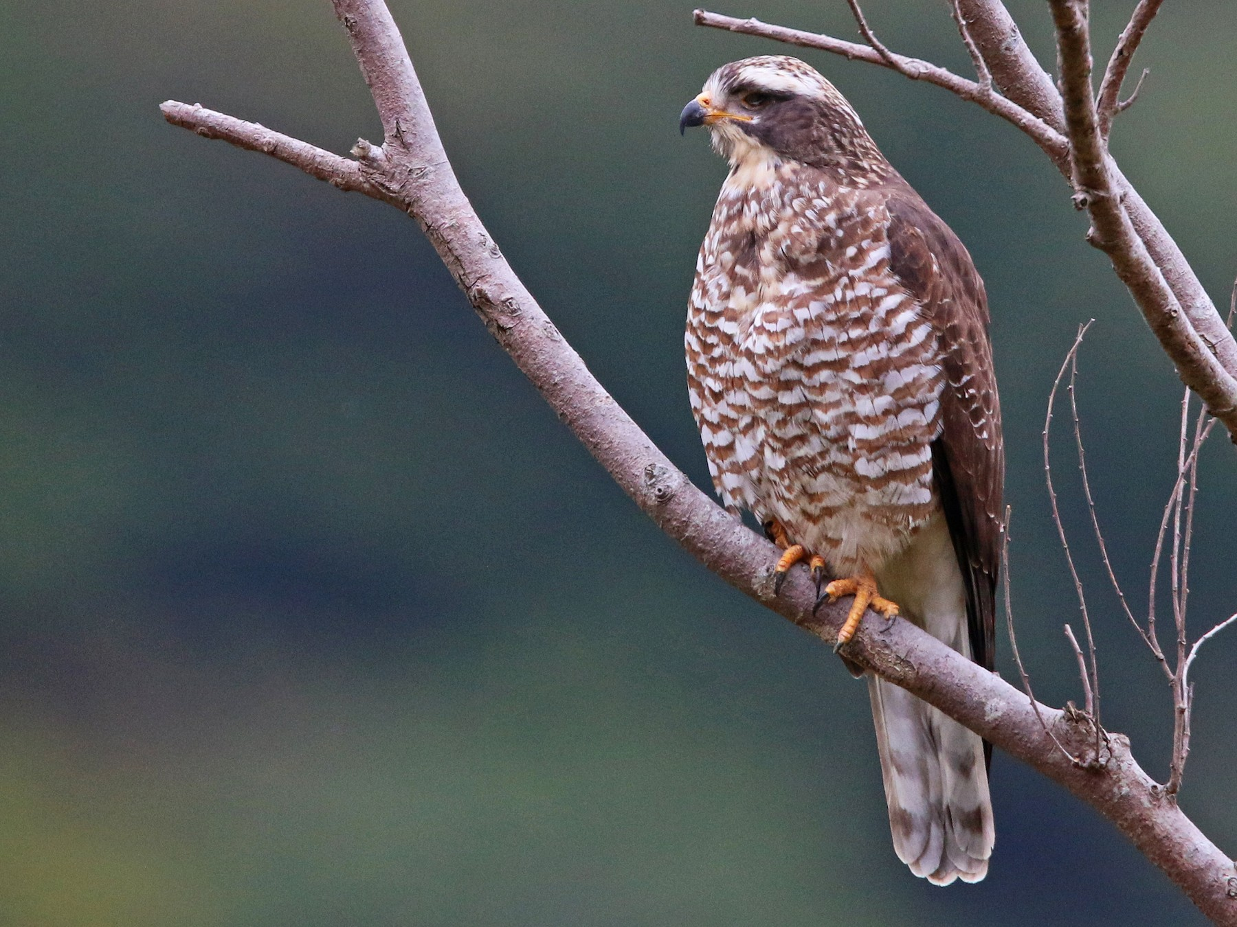 Gray-faced Buzzard - Ian Davies