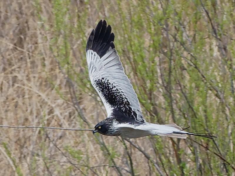 Eastern Marsh-Harrier - Vincent Wang