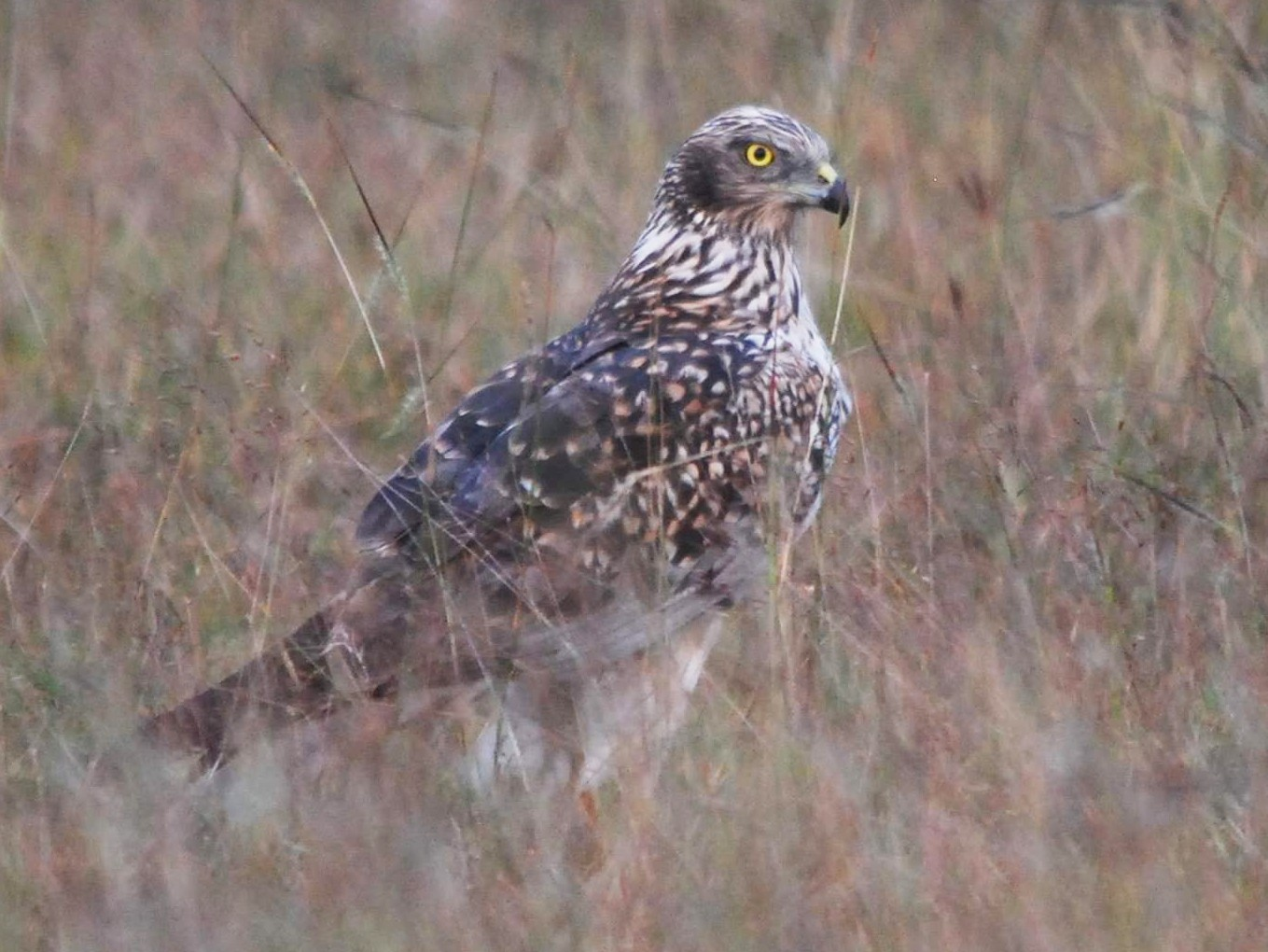 Eastern Marsh-Harrier - Gnanaskandan Kesavabharathi