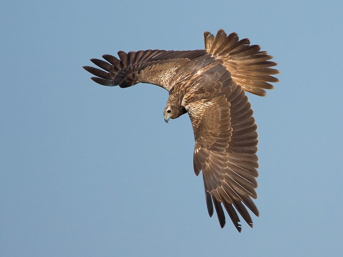 Eastern Marsh-Harrier - Ayuwat Jearwattanakanok