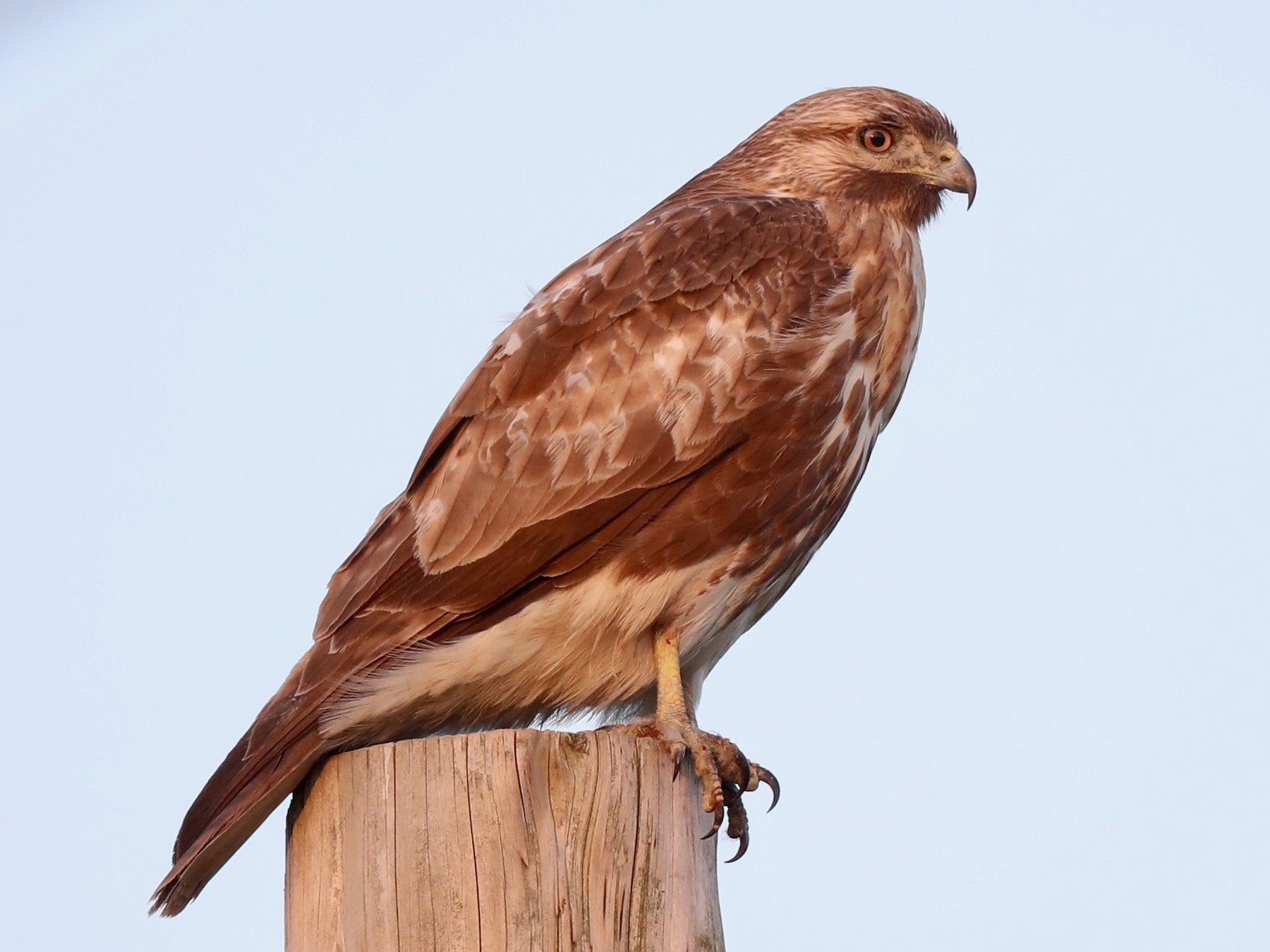 Eastern Buzzard - Ting-Wei (廷維) HUNG (洪)