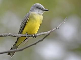 - Tropical Kingbird