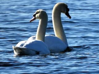 Mute Swan, ML203792971