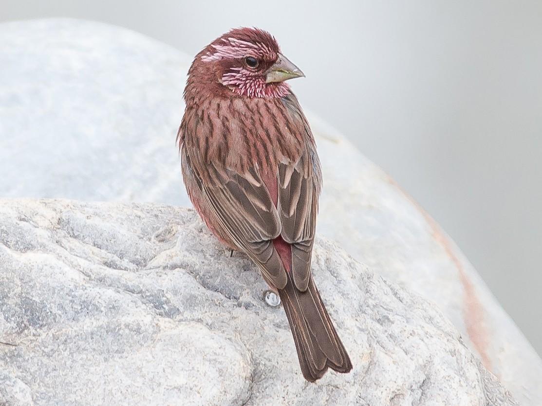 Blyth's Rosefinch - Hemant Kirola