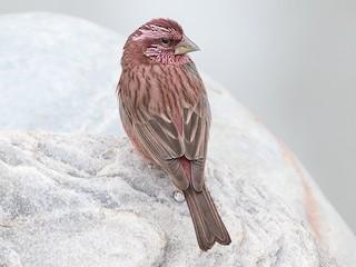 - Blyth's Rosefinch