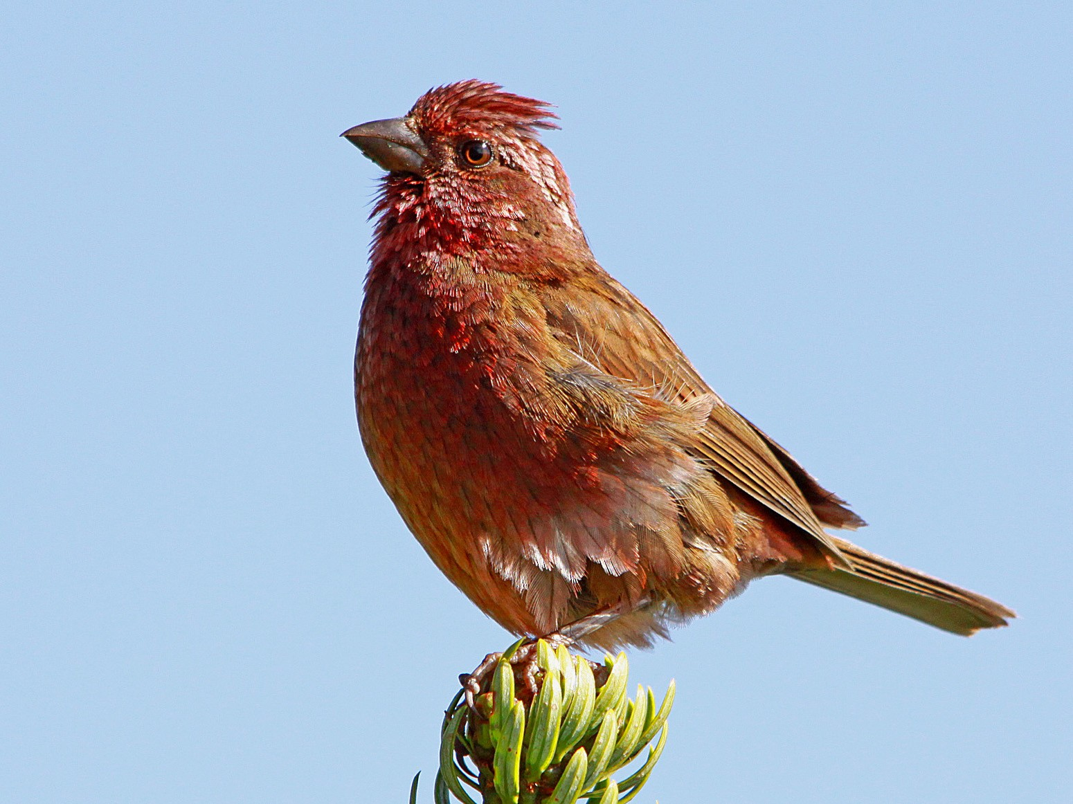 Blyth's Rosefinch - Biswapriya Rahut