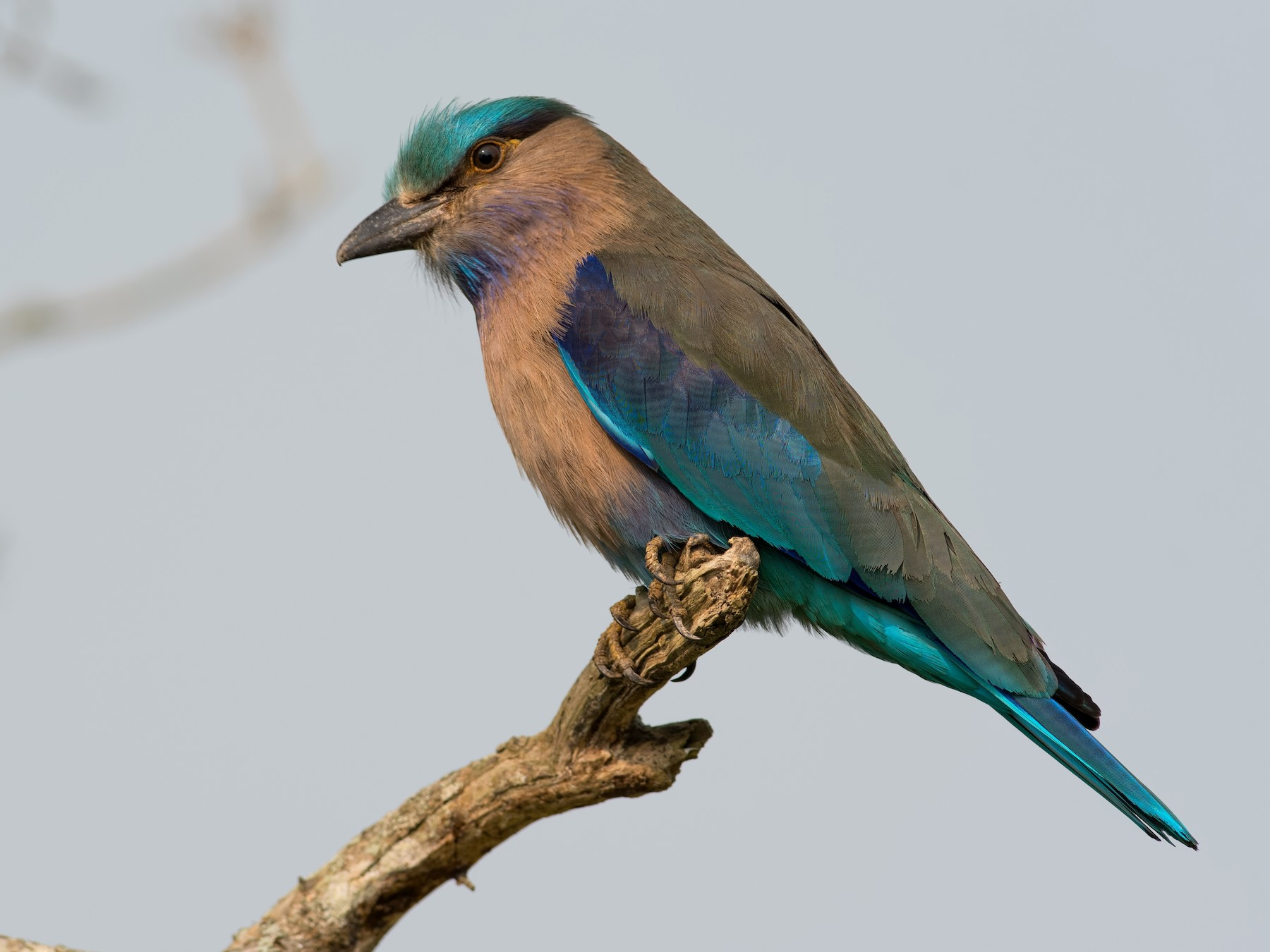 Indochinese Roller - Shailesh Pinto