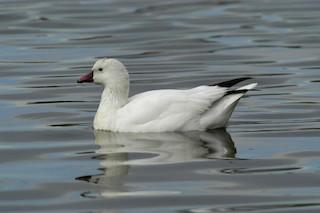 Ross's Goose, ML204059281