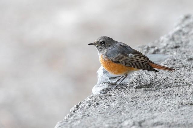 Common Redstart (Ehrenberg's)