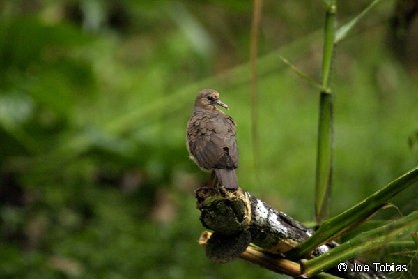 Gray-fronted Dove