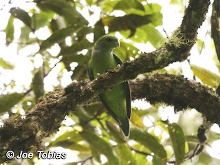 - Black-winged Parrot