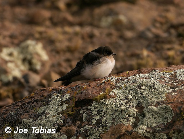 Andean Swallow