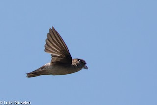 - Mascarene Swiftlet