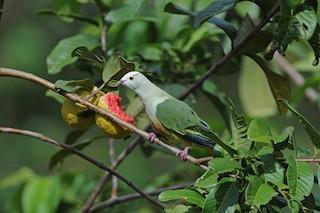 White-capped Fruit-Dove, ML204099431