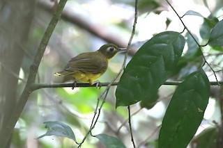- Green-tailed Bristlebill